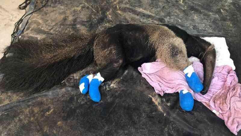 100 mil assinam a favor de lei que pode socorrer animais no Pantanal