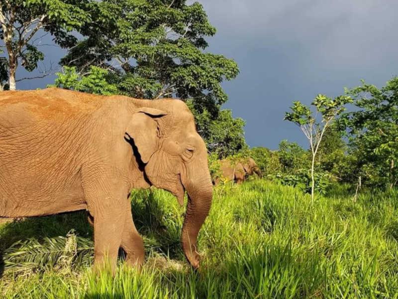 Por causa de incêndio, santuário transfere 5 elefantes para área segura em MT