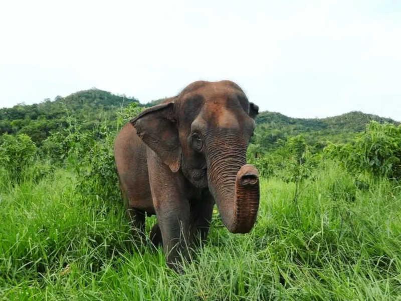 Elefanta Guida foi resgatada junto de Maia em 2016 pela equipe do Santuário de Elefantes Brasil. — Foto: Arquivo Santuário de Elefantes Brasil (SEB)