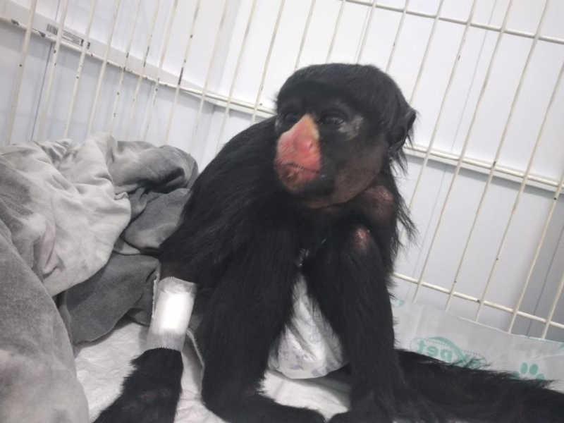 Macaca com sinais de maus-tratos é atropelada e resgatada com ferimentos em MT