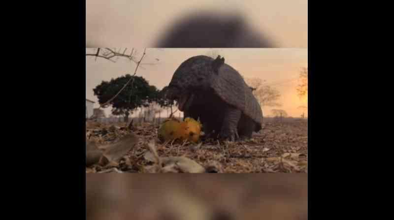 VÍDEO: Tatu faminto come manga deixada por voluntários em área atingida pelo fogo no Pantanal de MT