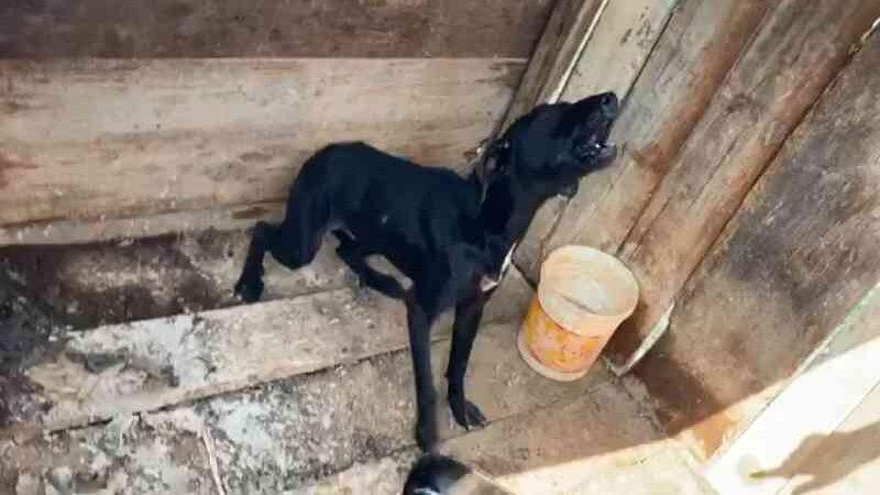 Uma pessoa é presa suspeita de manter cachorros acorrentados e sem comida, em Almirante Tamandaré, PR