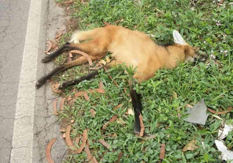 Filhote de lobo-guará morre atropelado na RJ-145, em Rio das Flores, RJ