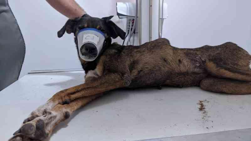 Cachorra fica tetraplégica após ser atropelada por carro da Roraima Energia e OAB investiga