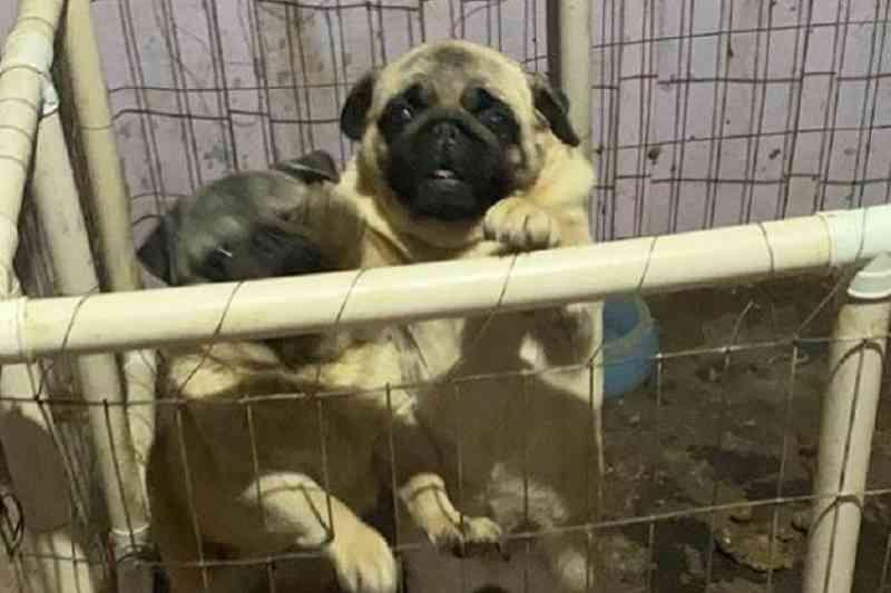Vítimas de maus-tratos, cães da raça pug são resgatados de canil irregular em São Sebastião do Caí, RS