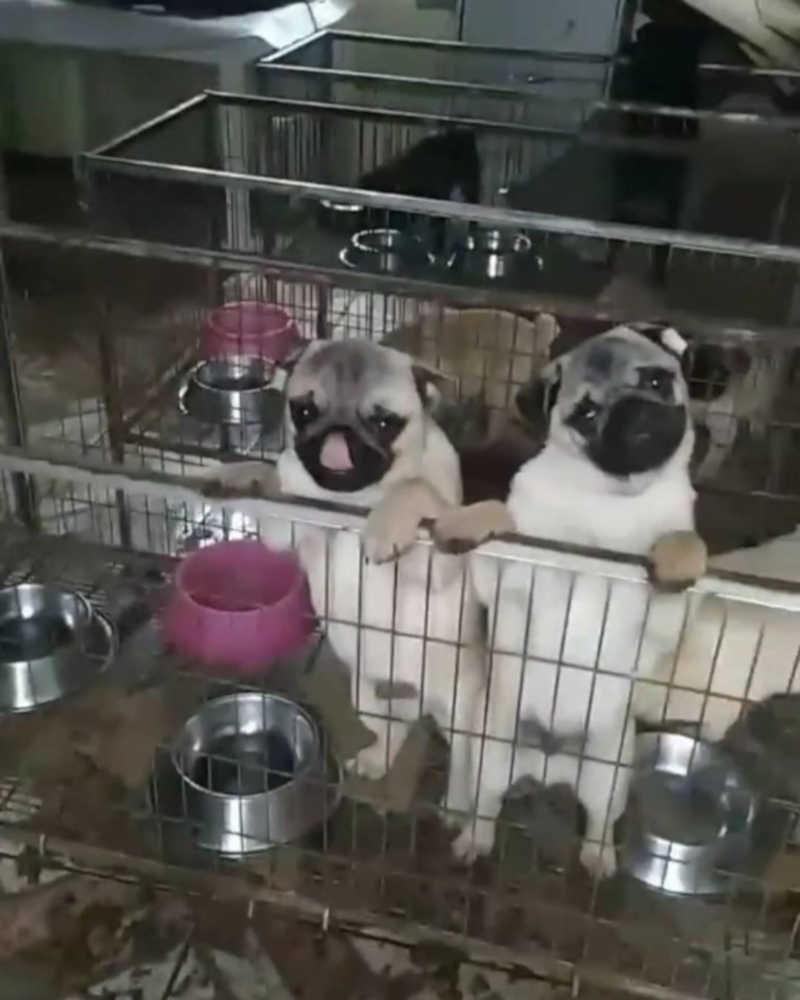 Justiça suspende devolução de pugs para criadora em São Sebastião do Caí, RS