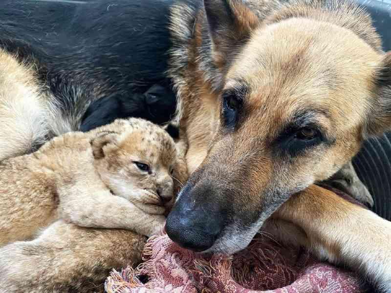 Cachorra cria dois filhotes de leão após mãe rejeitá-los em parque da Rússia