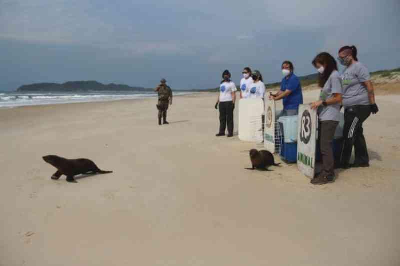 Dois lobos-marinhos são liberados para voltar ao lar na Praia do Moçambique, em Florianópolis, SC; veja fotos