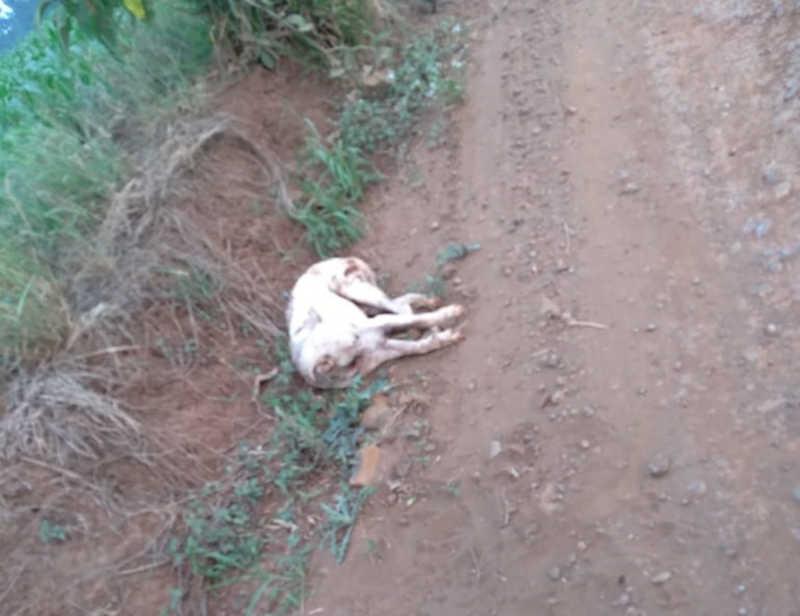 Cachorro abandonado e gravemente ferido é resgatado em Cunha Porã, SC