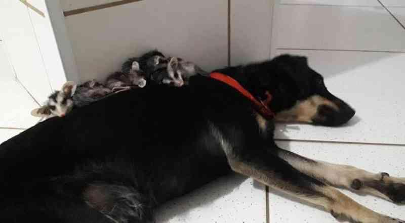 Cadela 'adota' filhotes de gambás órfãos após queimadas em SP; veja vídeo