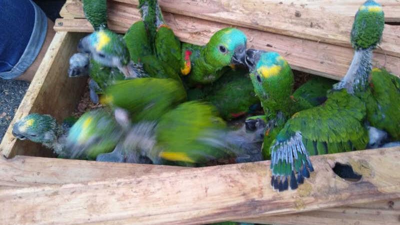 Papagaios foram encontrados em caixas dentro de carro em Campinas — Foto: Polícia Militar Rodoviária