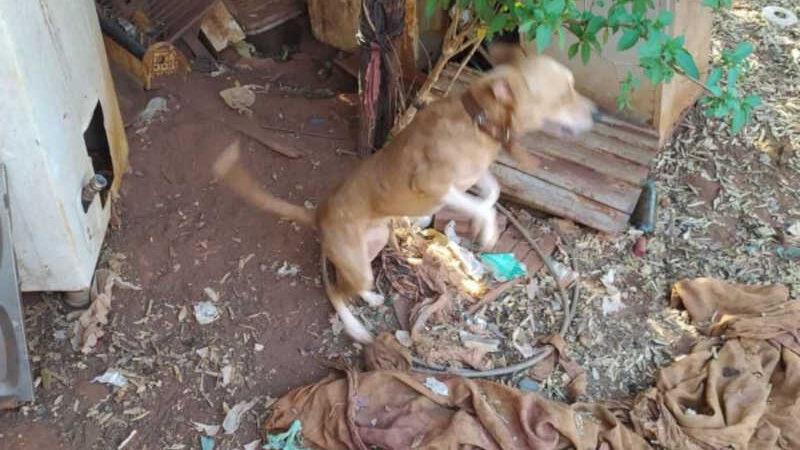 Tutores viajam e deixam animais amarrados passando fome e sede em Tocantinópolis, TO