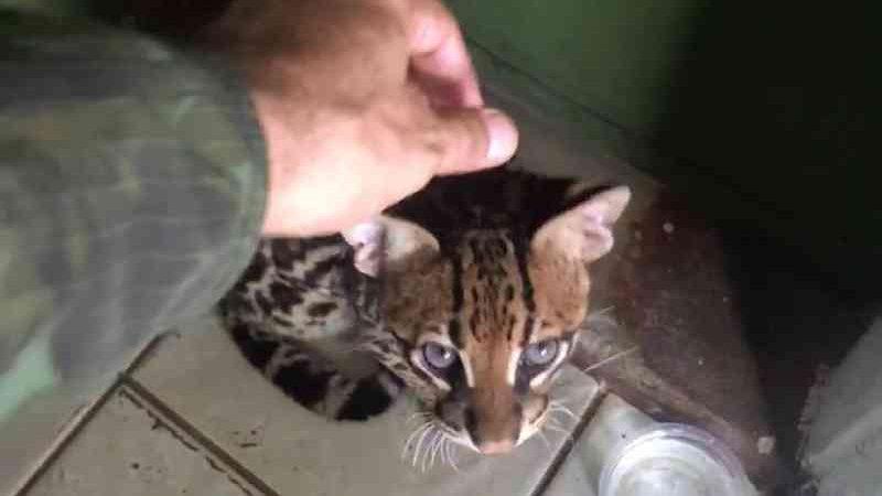 Filhote de 'gato-maracajá' domesticado é capturado por policiais em Santana, no Amapá