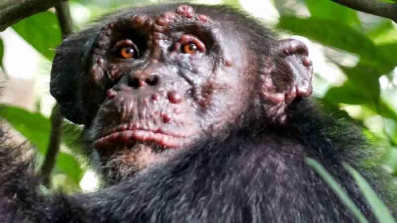 Primeiros casos de lepra em populações de chimpanzés