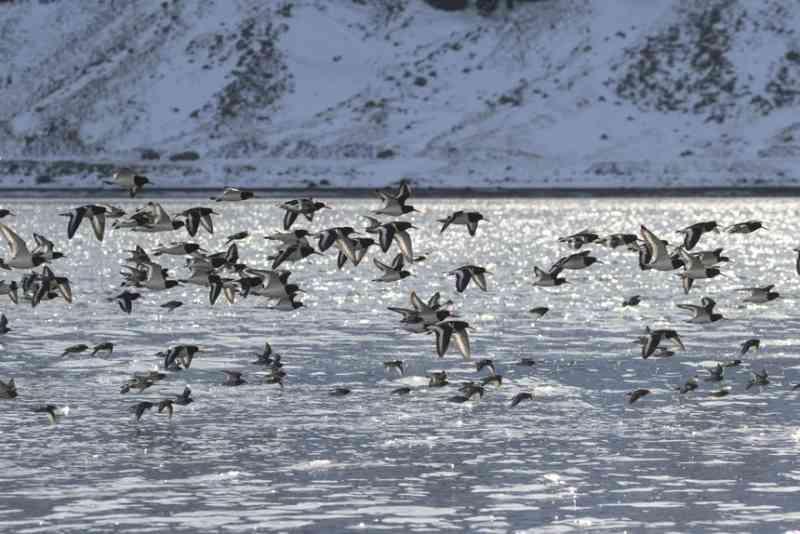 Aves, baleias, renas, lobos e muitos outros animais do Ártico estão a alterar comportamentos devido às alterações climáticas