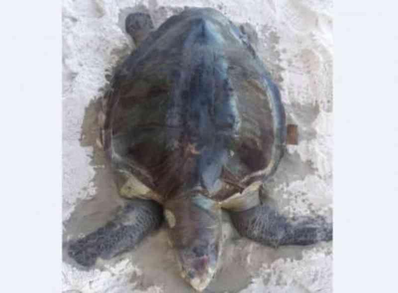 Bahia: tartaruga é achada morta em praia; 2020 já tem mais de 190 perdas
