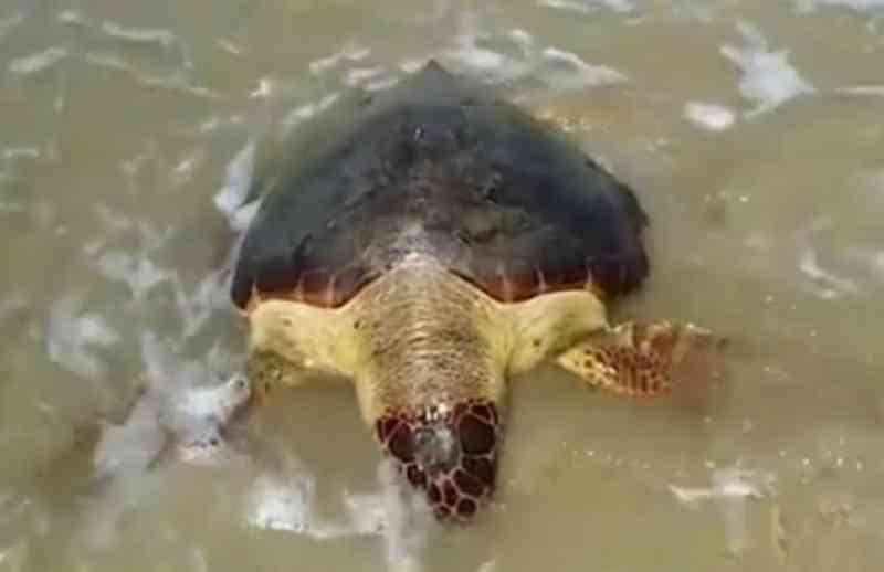 Mortes de tartarugas em período reprodutivo na Bahia preocupam especialistas; 150 animais já morreram em 2020