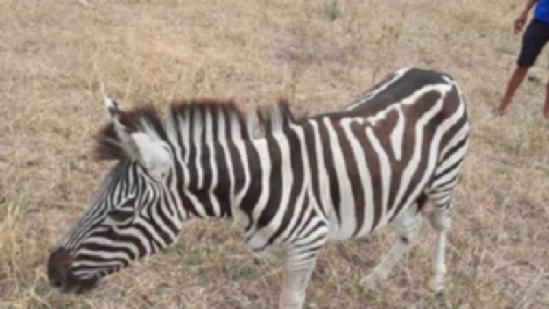 Segundo relatos de alguns moradores um filhote de zebra foi visto no último sábado (31) em uma fazenda (Foto: VC Repórter)