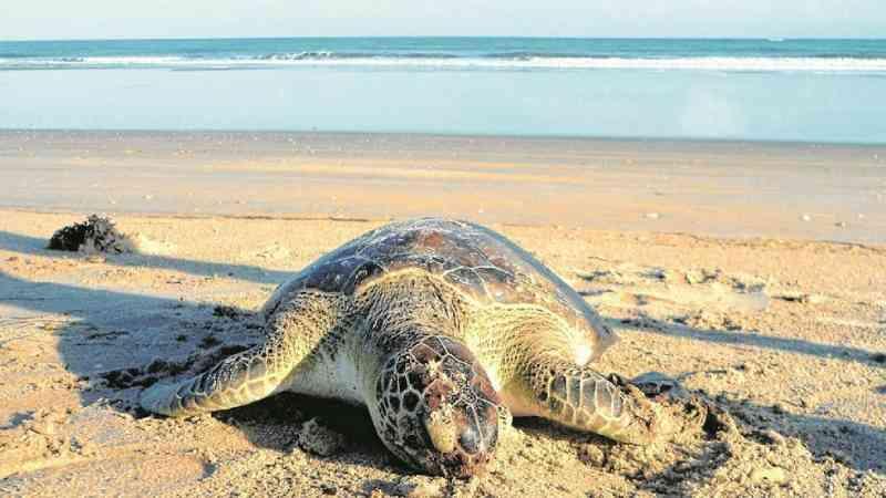 Ceará terá quarentenário para tartarugas encalhadas no primeiro semestre de 2021