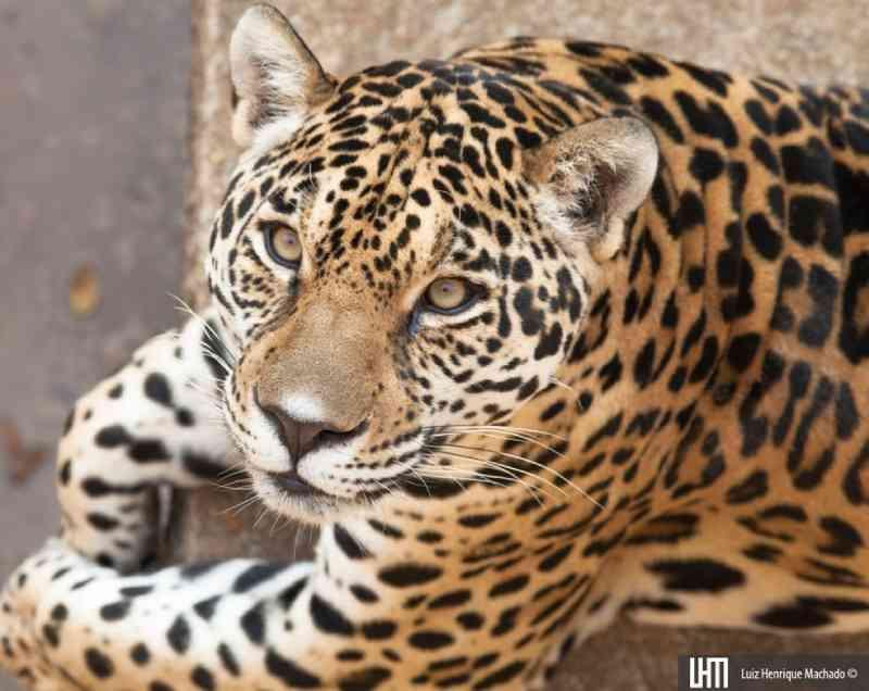 Morre onça-pintada Help, do Zoológico de Brasília, DF