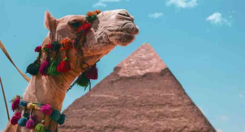 Egito vai proibir passeios em camelos nas pirâmides para evitar que animais sofram abusos