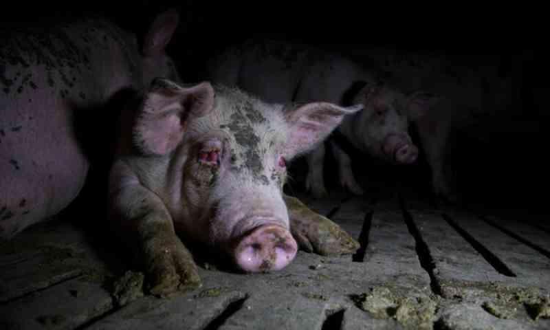 Imagens chocantes. Porcos vítimas de maus tratos em mais de trinta quintas espanholas