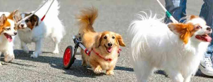 Casal japonês ajuda mais de 3,000 cachorros construindo cadeiras de rodas; fotos