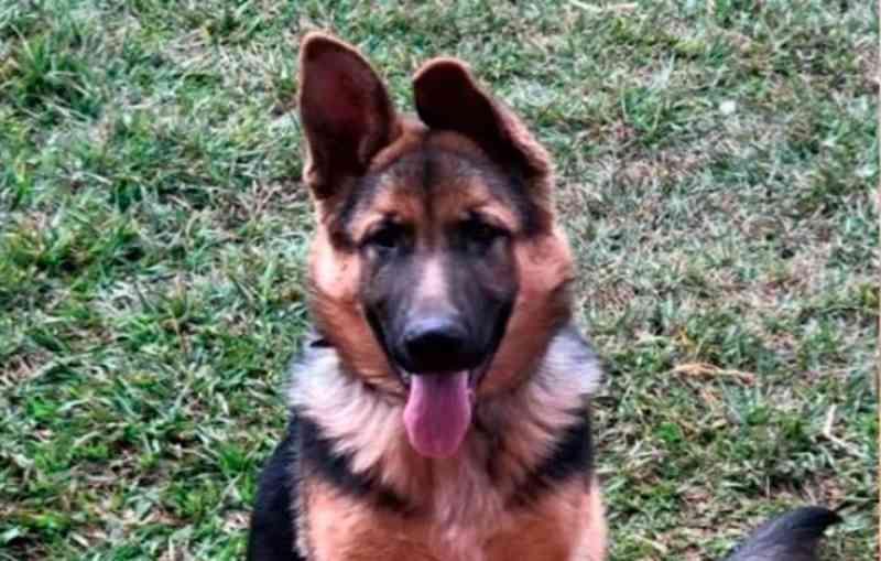 Laudo mostra que cadela pastor alemão foi assassinada com crueldade em Patos de Minas, MG