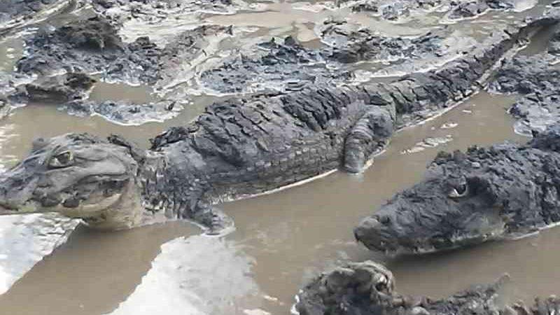 'Maioria dos jacarés morreu', diz funcionário de fazenda em que animais ficaram amontoados no Pantanal