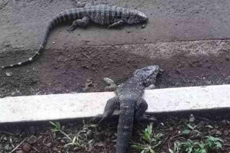 Alta velocidade aumenta atropelamentos de animais na Avenida Ernesto Geisel, em Campo Grande, MS