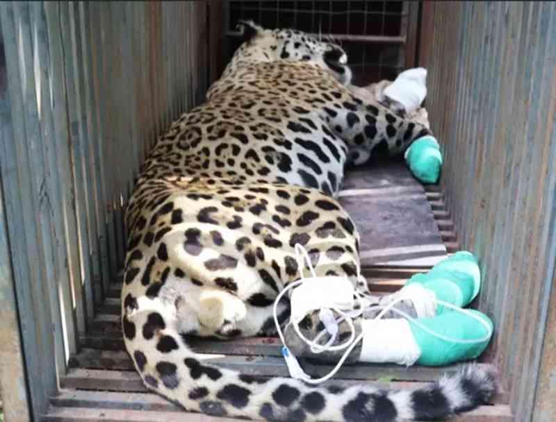 Primeira onça morre e outro animal resgatado tem 72 horas para reagir