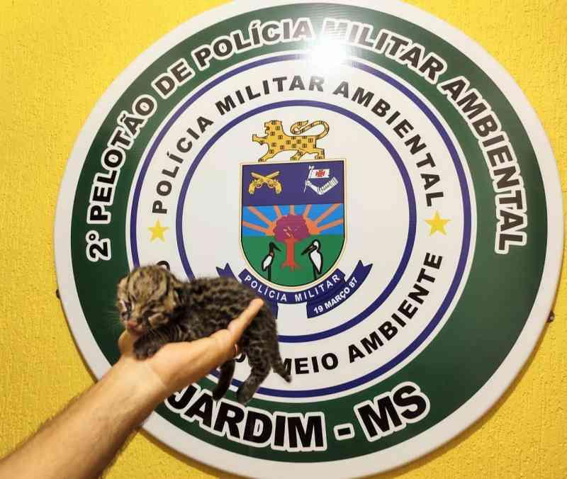 Polícia Militar Ambiental de Jardim (MS) recolhe filhote de jaguatirica socorrido por mulher à margem de estrada