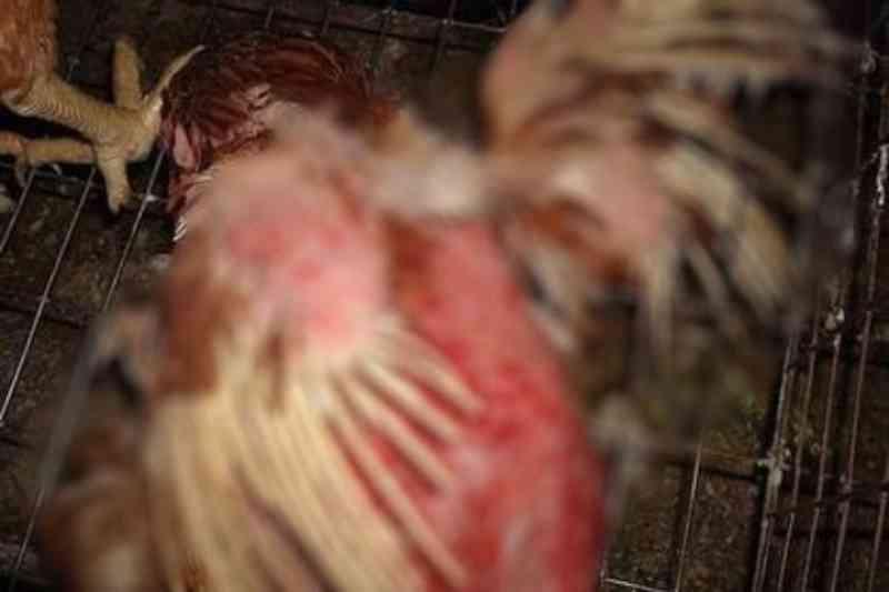 Vizinho é suspeito de mutilar galinha arrancando penas e pedaços das asas, em Camapuã, MS