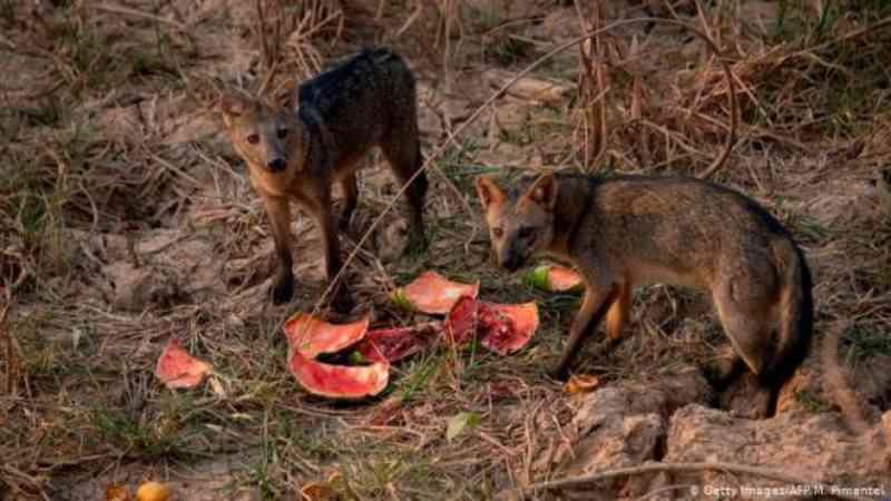 Depois das chamas, animais do Pantanal sofrem de 'fome cinzenta'