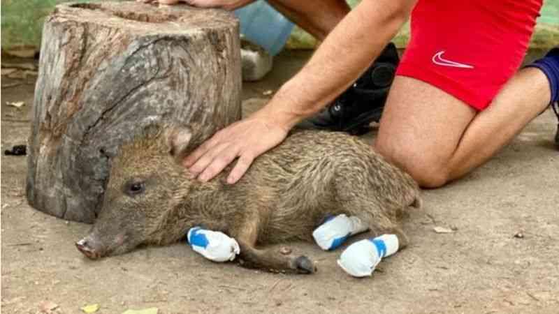 A corrida para salvar 'Benta', filhote de queixada vítima dos incêndios no Pantanal