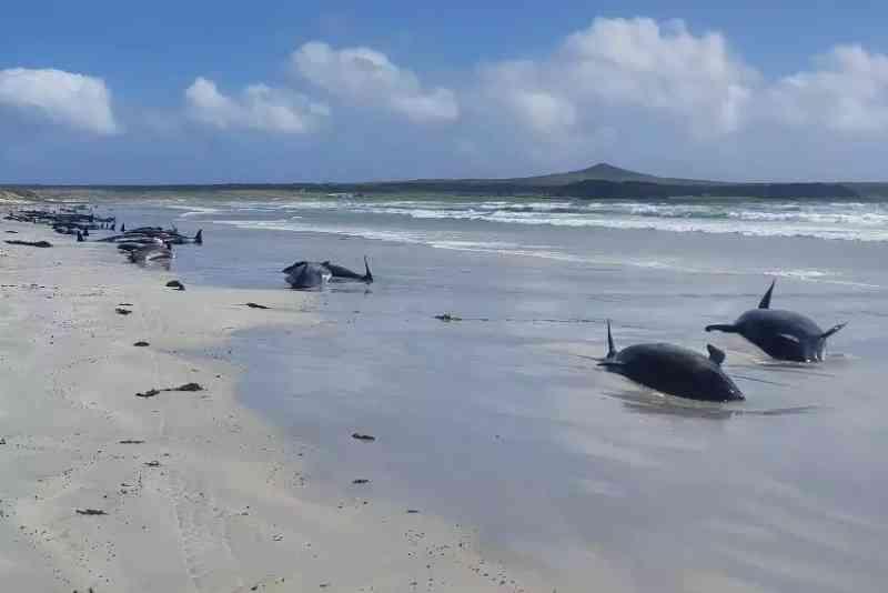 Quase cem baleias-piloto morrem encalhadas na Nova Zelândia
