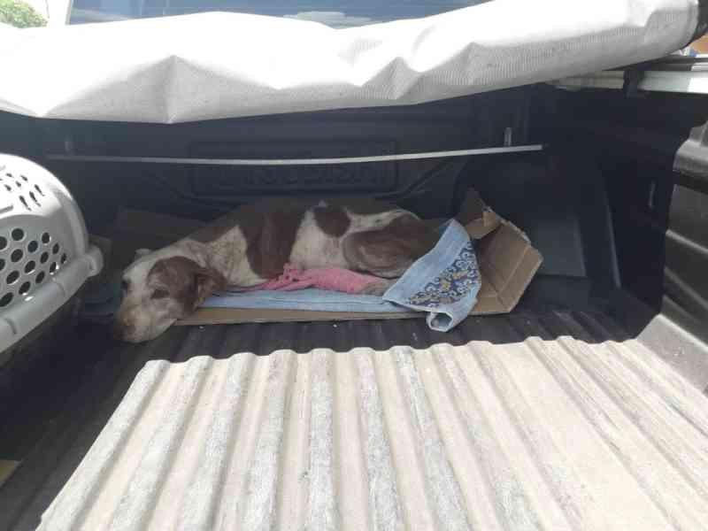 Mulher é presa por maus-tratos a cão da raça pit bull em Barcarena, nordeste do PA