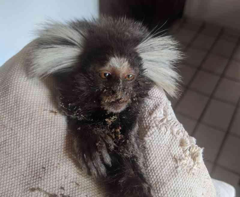 Sagui sofre choque elétrico e volta à natureza após 40 dias internada em Teresina, PI; vídeo