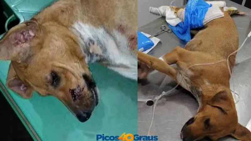 Cadela é atingida por tiro de espingarda no Piauí; suspeito está foragido