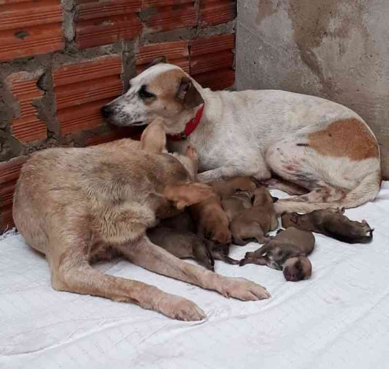Cadelas resgatadas de maus-tratos cuidam juntas de ninhada; uma delas teve filhotes mortos