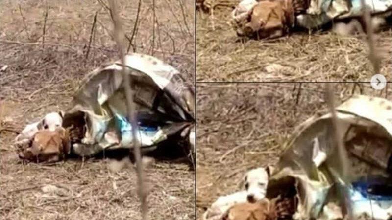 Corpo de adela e as filhotes foram encontradas em um terreno no município de Picos, no Piauí — Foto: Instagram/@apapi_picos