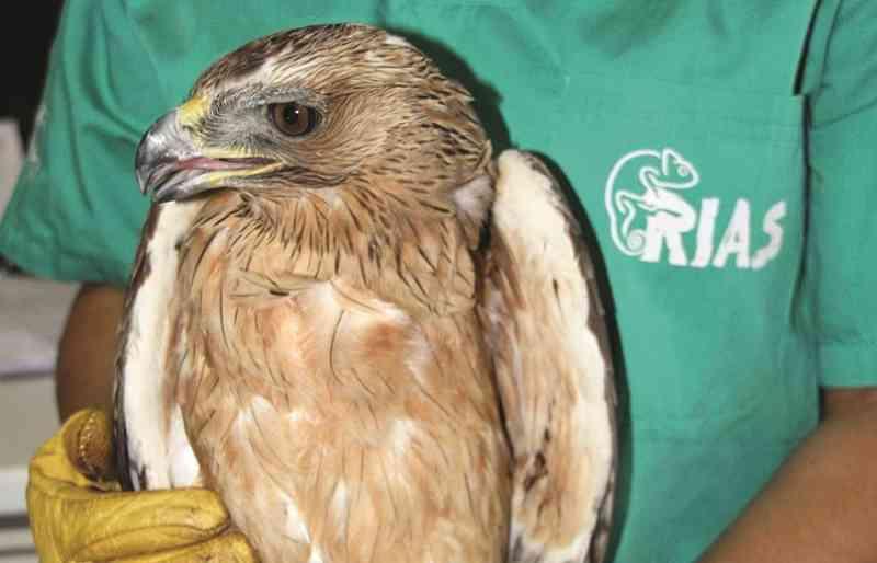 Águia ferida com tiros de caçadeira em Olhão, Portugal