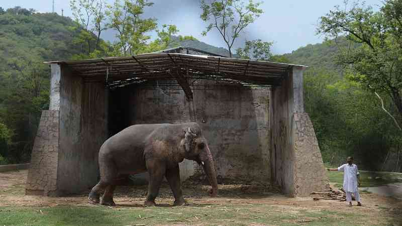 O elefante 'mais solitário do mundo' será libertado após 35 anos de maus-tratos em zoológico