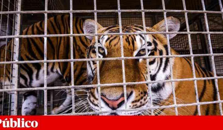 Portugal: animais selvagens podem começar a sair do circo já em 2021