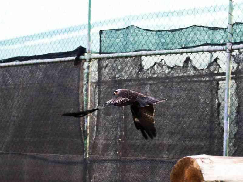 Portugal: duas aves alvo de tentativa de abate a tiro ingressaram no RIAS numa só semana