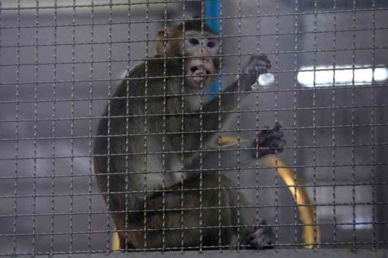 Dois macacos resgatados em Portugal enviados para santuário nos países baixos