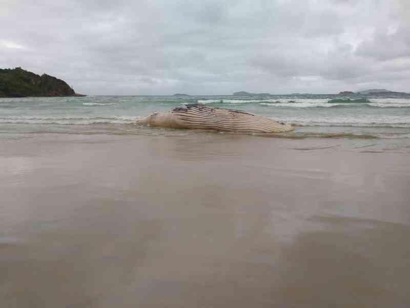 Baleia-jubarte é encontrada morta em praia de Búzios, no RJ