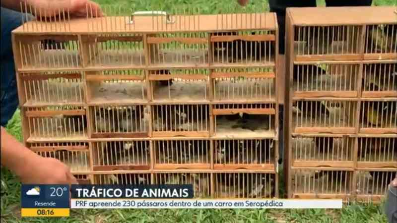 PRF prende homem com 230 aves dentro do carro em Seropédica, na Baixada Fluminense