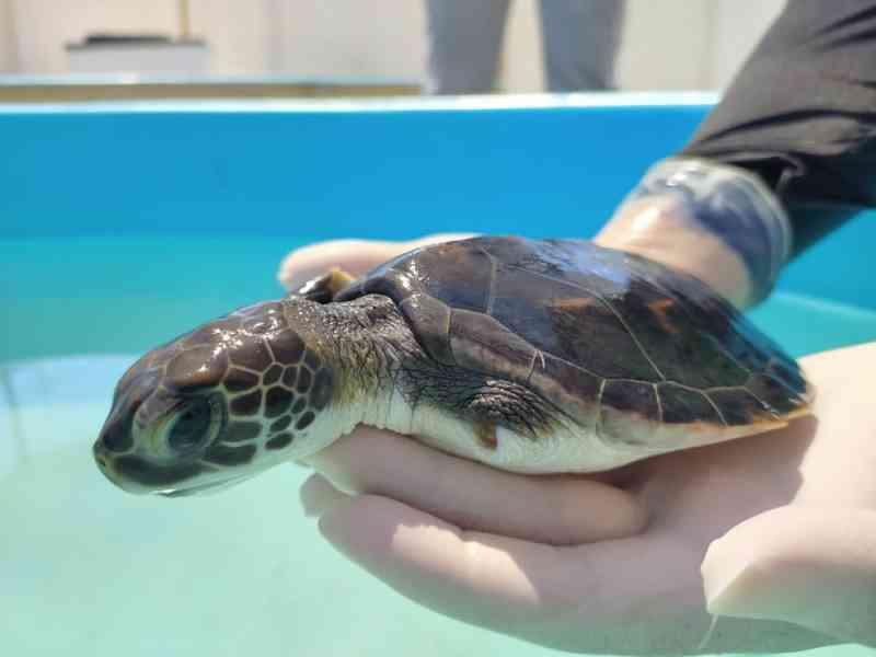 Filhote de tartaruga resgatado se recupera após ter nadadeira amputada e será devolvido ao mar