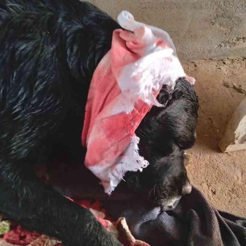 Homem é preso após agredir cão comunitário com facão em Passo Fundo, RS